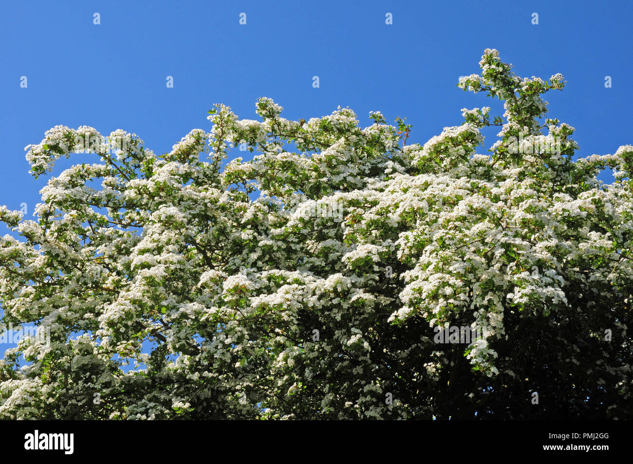 Hawthorn tree, Crataegus monogyna in bloom. - Stock Image