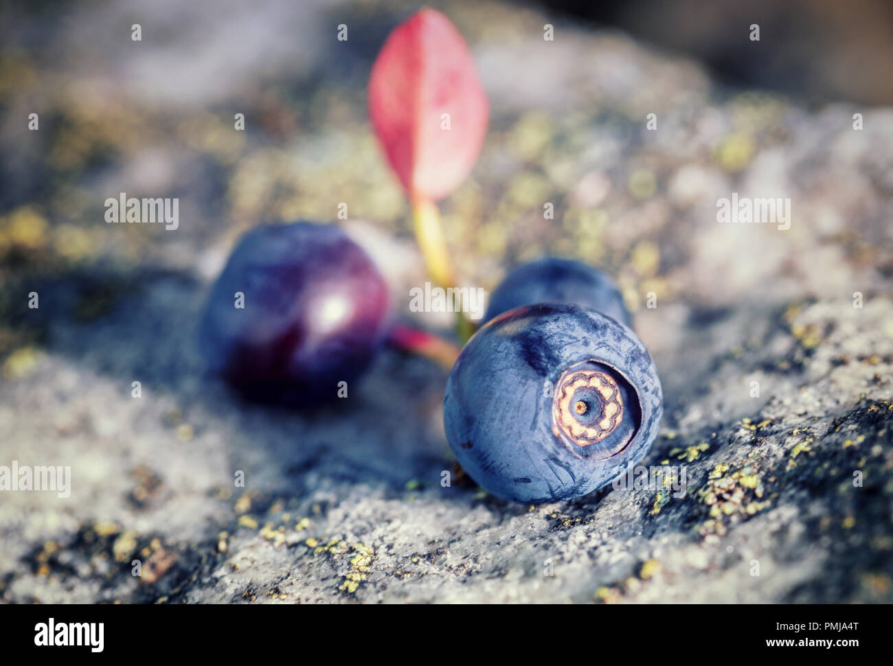 Macro shoot of ripe wild bluberries layed on natural mossy rock at upland meadow in Shropshire Hills,UK - Stock Image