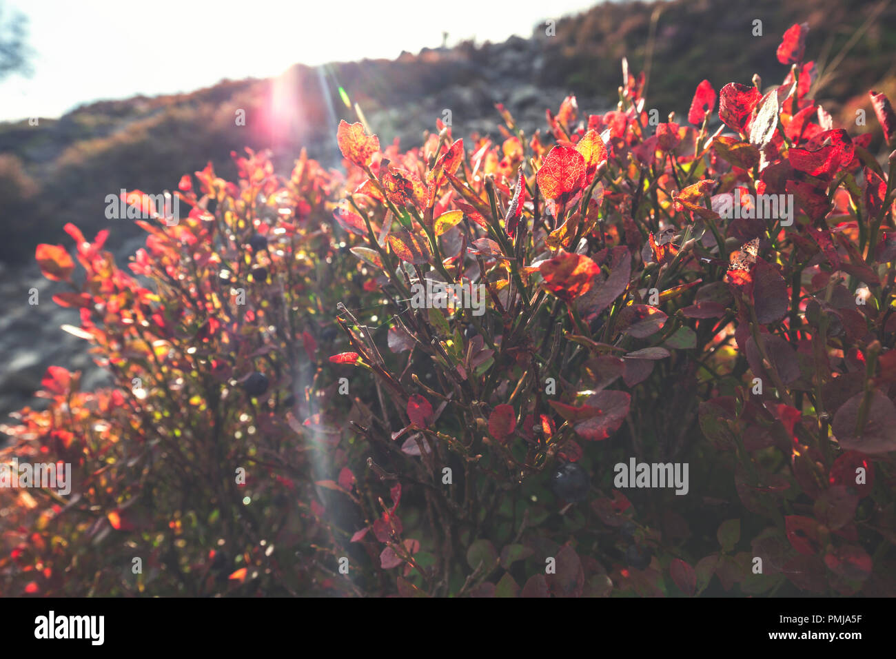 Wild Blueberry bush with ripe berries and red leaves on upland meadow in United Kingdom - Stock Image