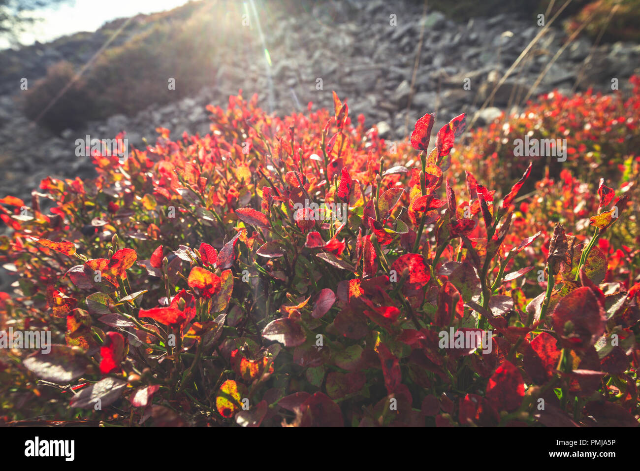 Vivid red leaves of wild blueberry bush. Scenic upland meadow in Stiperstones, Shropshire, United Kingdom - Stock Image