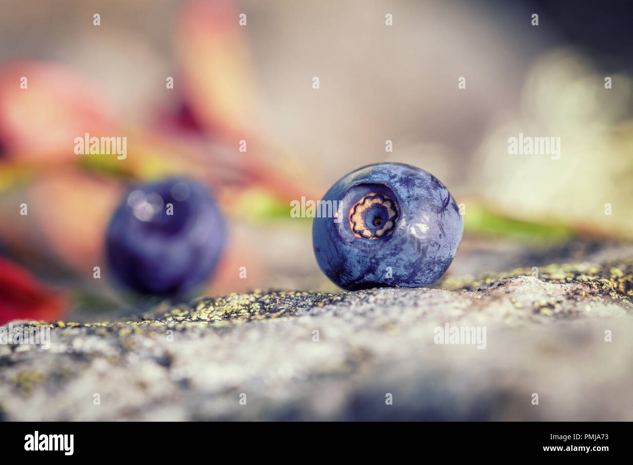 Macro shoot of ripe wild bluberry layed on mossy rock at upland meadow in Shropshire Hills,UK - Stock Image