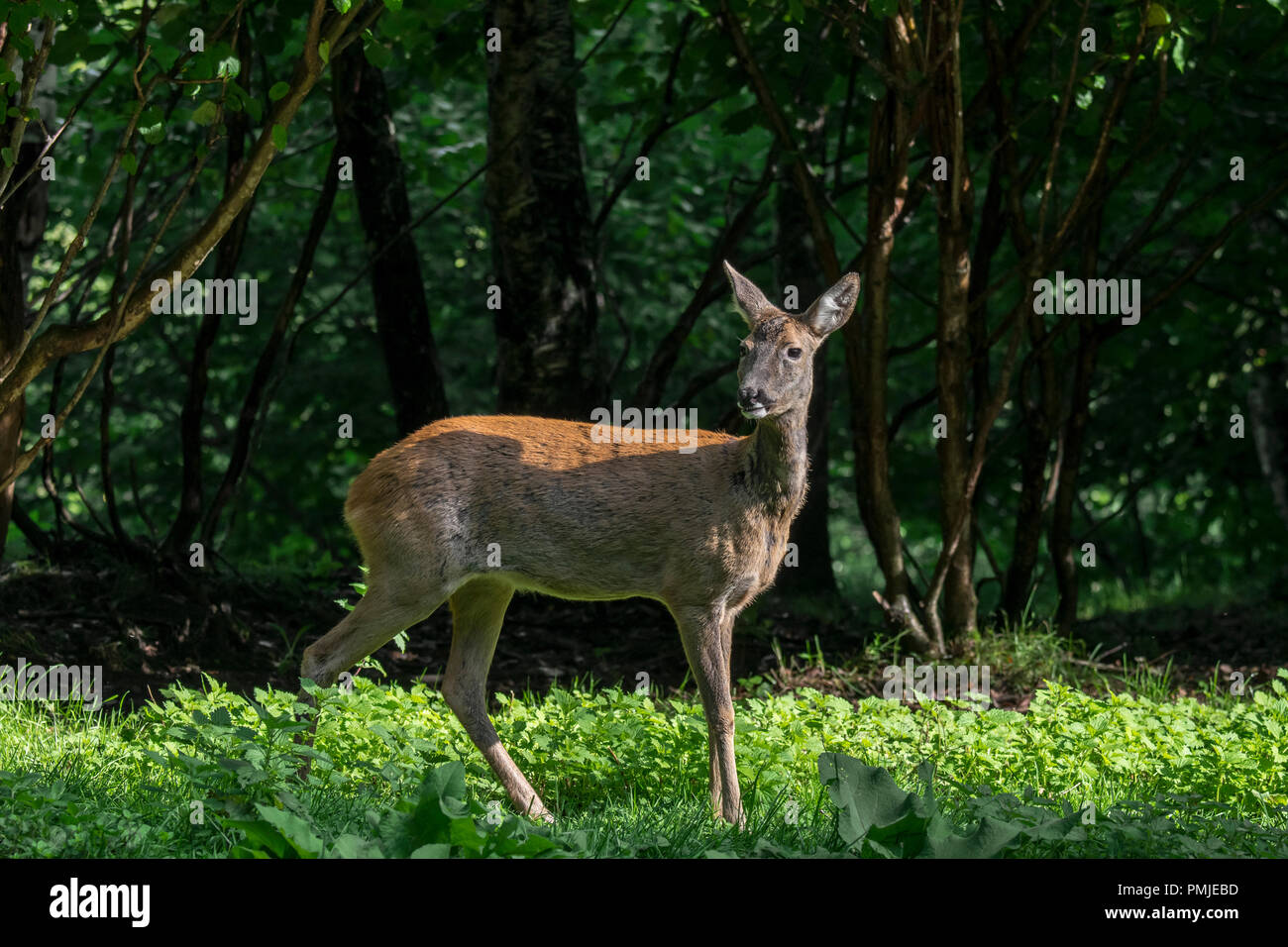 European roe deer (Capreolus capreolus) female / doe hiding in undergrowth / thicket / brushwood of forest in summer Stock Photo