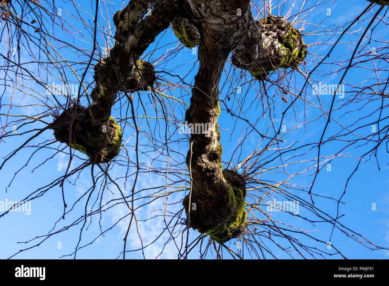 new growth on pruned pollarded lime trees france stock image