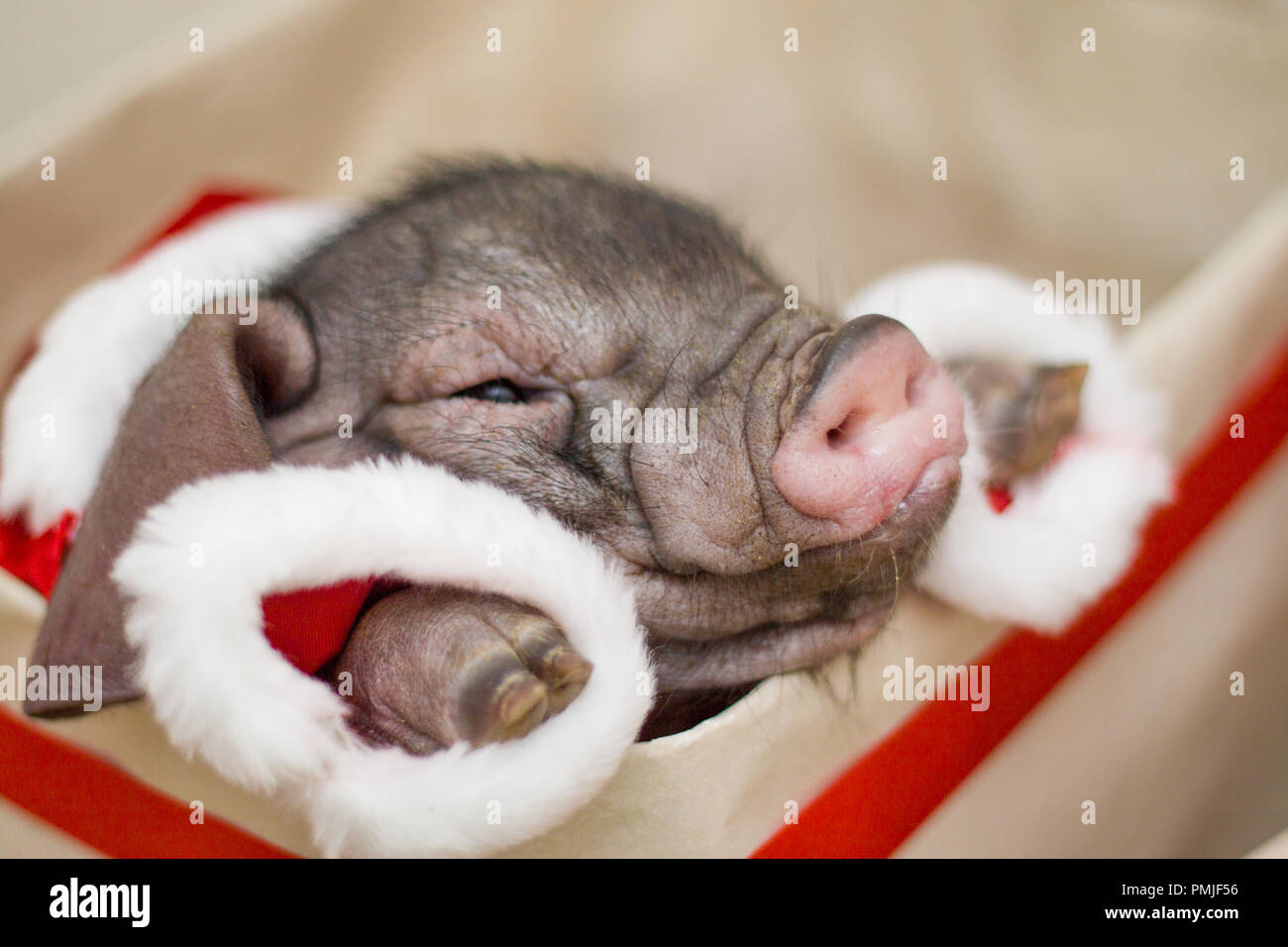Christmas and new year card with cute newborn santa pig in gift present box. Decorations symbol of the year Chinese calendar. fir on background. Holid - Stock Image