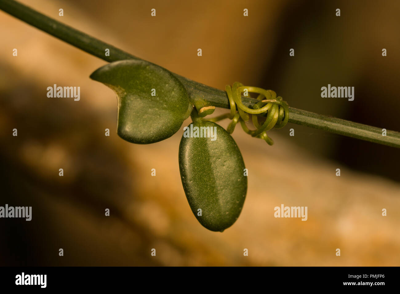 Macro of Xerosicyos perrieri, a liana with thinner stems and smaller, ovate green succulent leaves - Stock Image