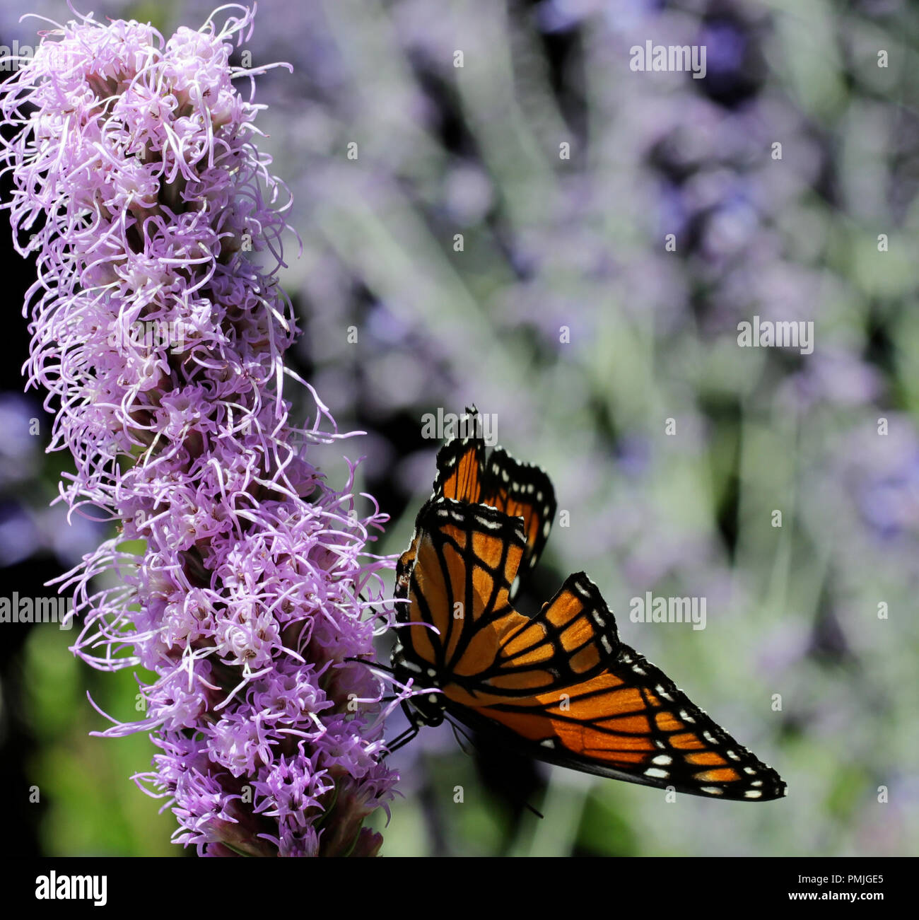A Viceroy butterfly (Limenitis archippus), a Müllerian mimic of the Monarch butterfly, feeding on Liatris spicata in a New England flower garden Stock Photo