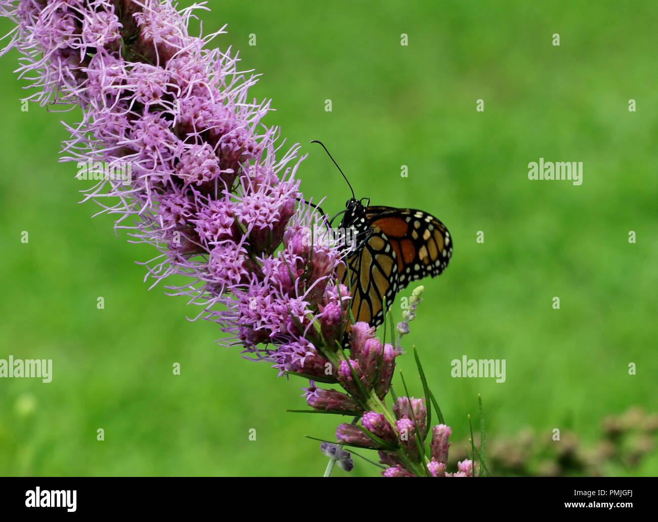 A Monarch butterfly (Danaus plexippus), also known as the milkweed butterfly, feeding in a garden on blazing star (Liatris spicata) Stock Photo