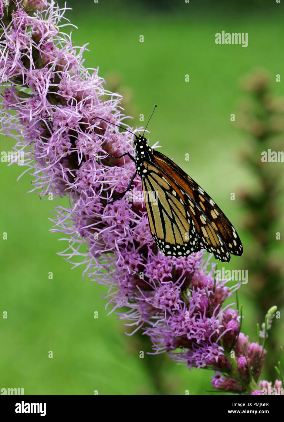 A Monarch butterfly (Danaus plexippus), also known as the milkweed butterfly, feeding in a garden on blazing star (Liatris spicata) Stock Photo