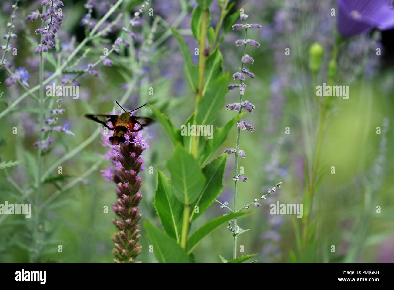 A hummingbird clearwing moth (Hemaris thysbe) feeding on blazing star (Liatris spicata) in a New England garden in summer Stock Photo