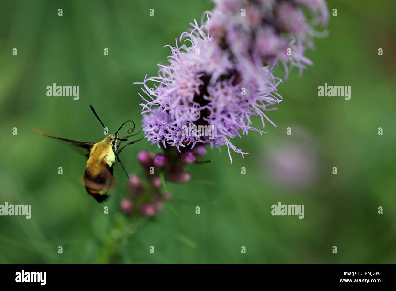 A hummingbird moth (Hemaris diffinis), also known as a Snowberry Clearwing, feeding on blazing star (Liatris spicata) in a New England garden Stock Photo