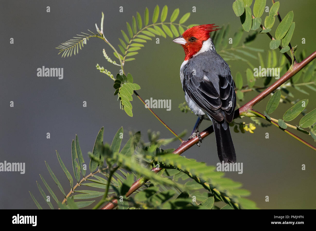 Red crested cardinal photographed in Buenos Aires, Argentina - Stock Image