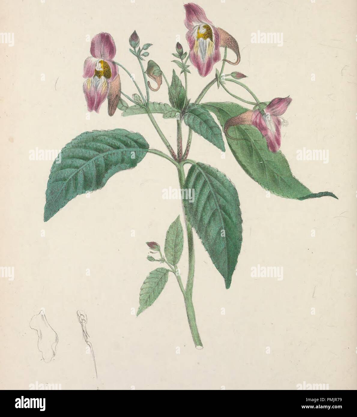 Drawing of Impatiens Picta flower (Painted Impatiens, 1837. ), from the book 'The floral cabinet and magazine of exotic botany'. Courtesy Internet Archive. () - Stock Image