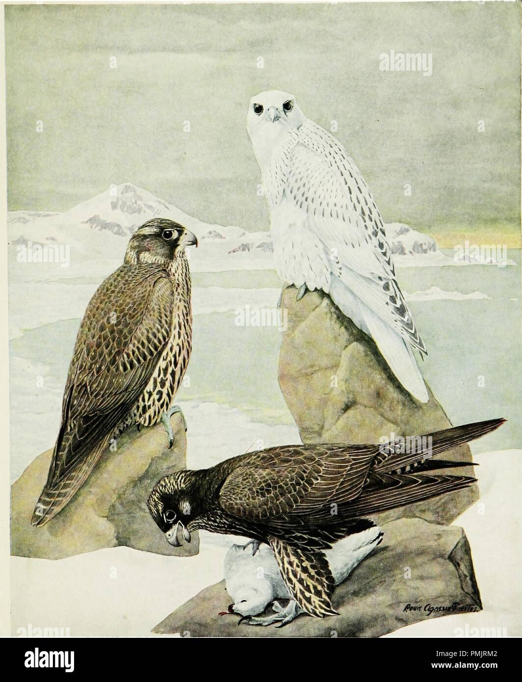 Drawing of three variations of Gyrfalcons, from the book 'Birds of New York', 1508. Courtesy Internet Archive. () - Stock Image