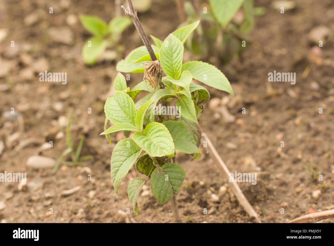 Monarda fistulosathe wild bergamot or bee balm, is a wildflower in the mint family (Lamiaceae) - Stock Image