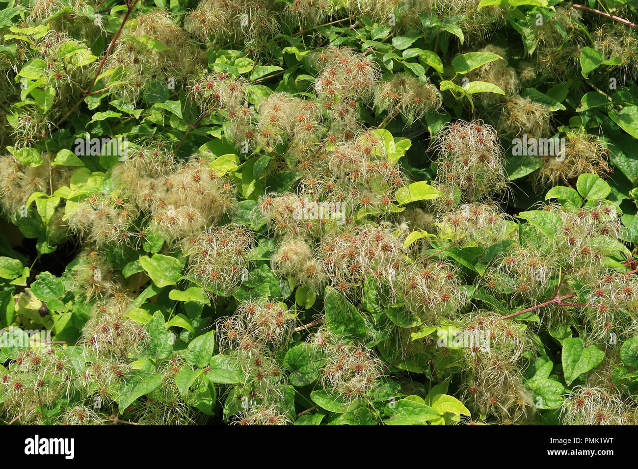 Old mans beard also known as Clematis Vitalba - Stock Image