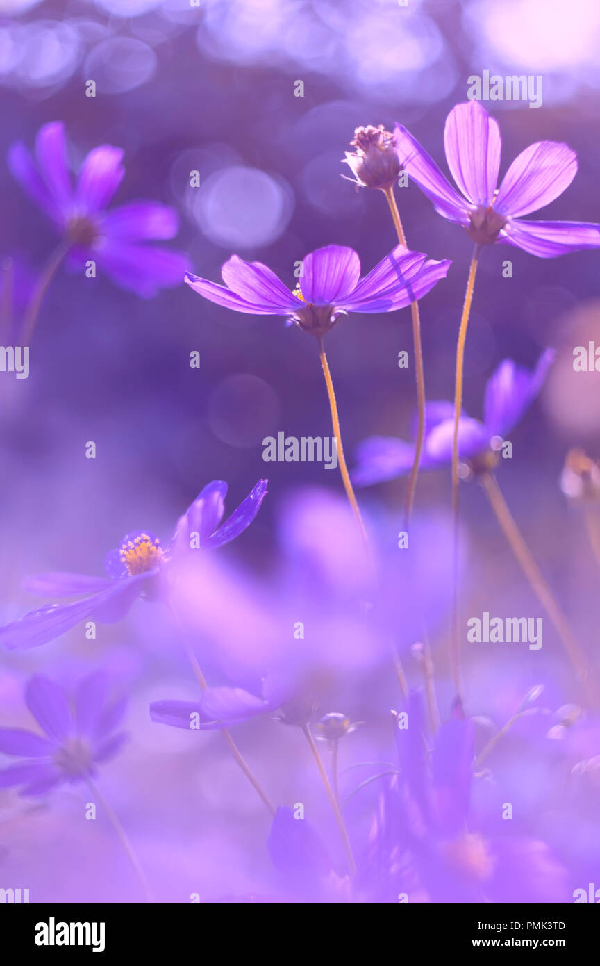 Flowers cosmos purple color very beautiful flowers with purplish flowers cosmos purple color very beautiful flowers with purplish tinting izmirmasajfo