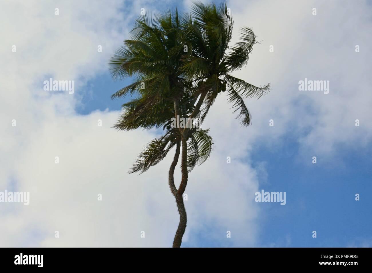 A rare three headed coconut tree on Tongatapu island, Tonga Stock Photo