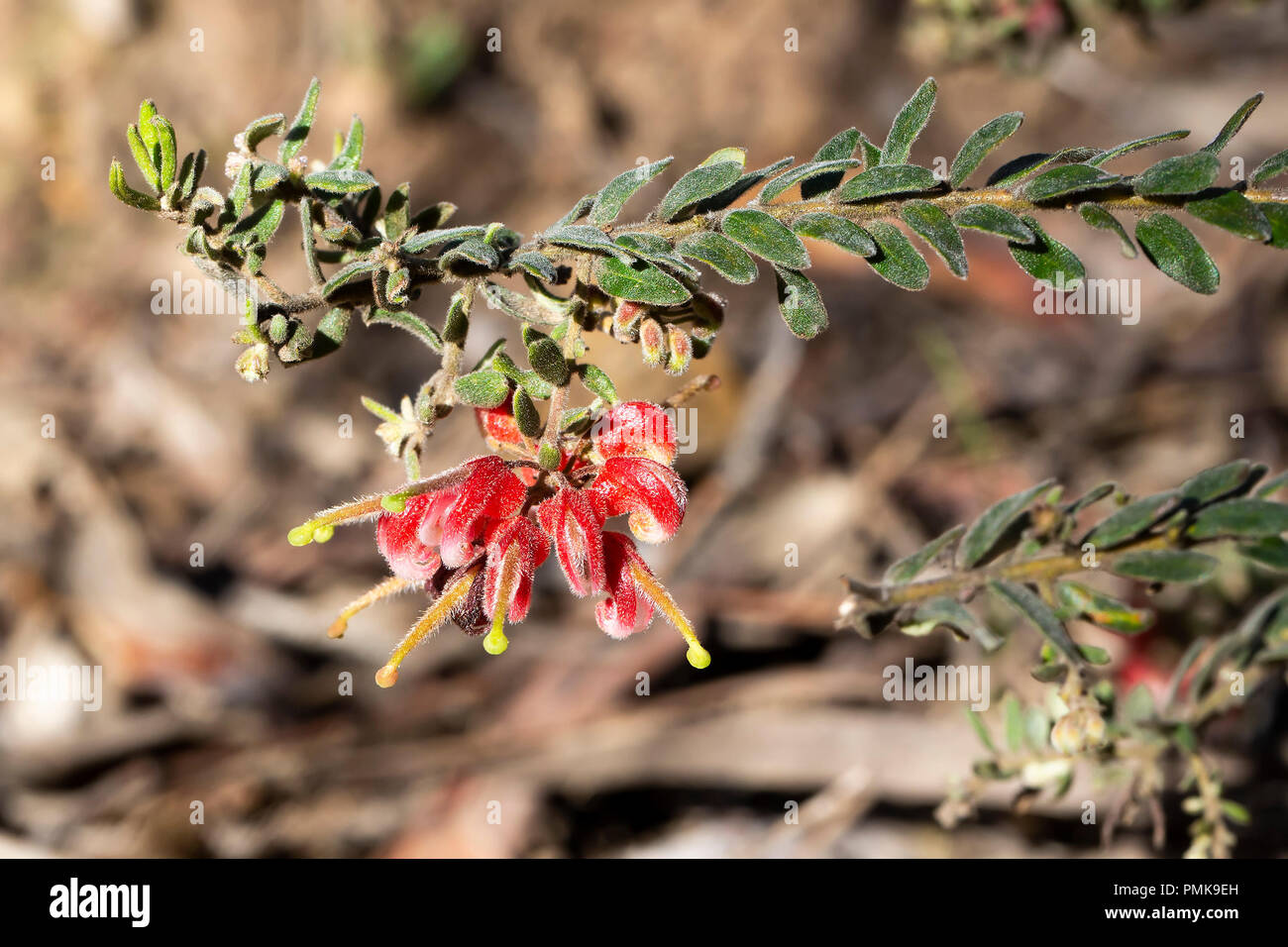 Red form of Cats Claw Grevillea (Grevillea Alpina) - Stock Image