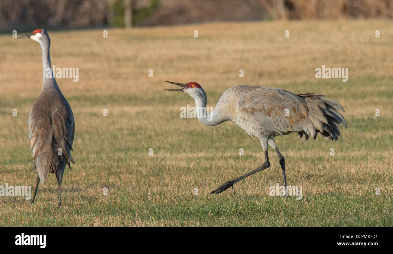 A male Sandhill has his head low and mouth open while talking to a female. - Stock Image