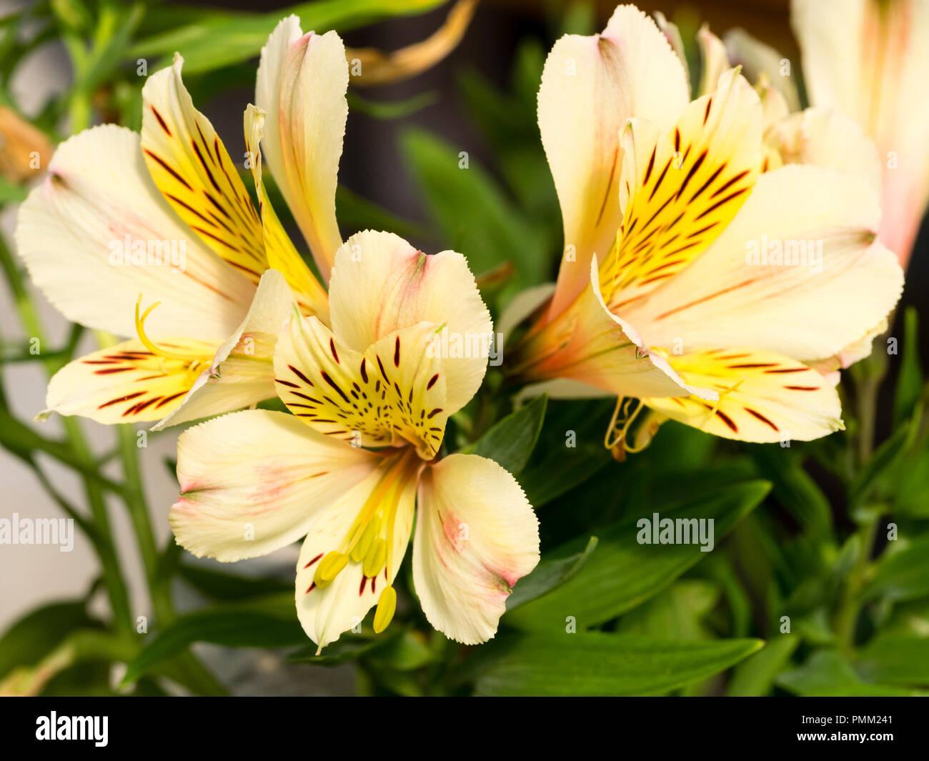 Alstroemeria Perennial Flowers Stock Photos Alstroemeria Perennial