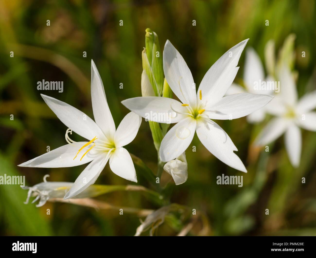 White Star Like Flowers Stock Photos & White Star Like Flowers Stock ...