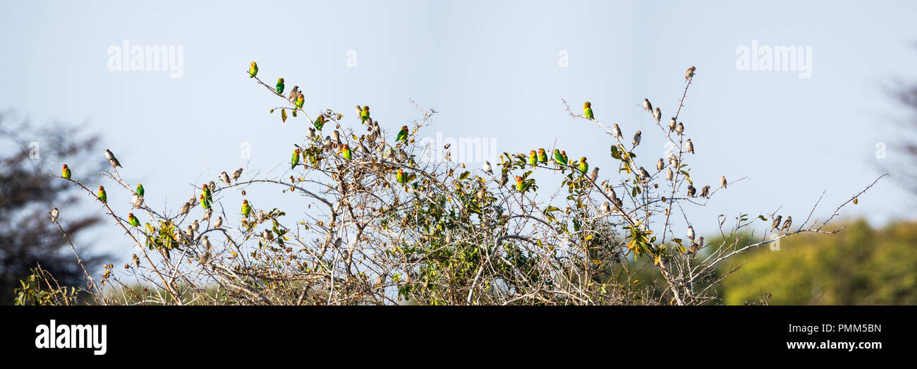 A flock of Lilian's Lovebirds perched in a small bush, set against a blue sky - Stock Image