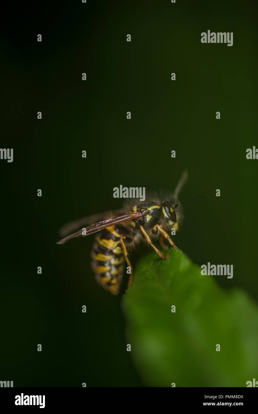 Wasp on a green leaf - Stock Image