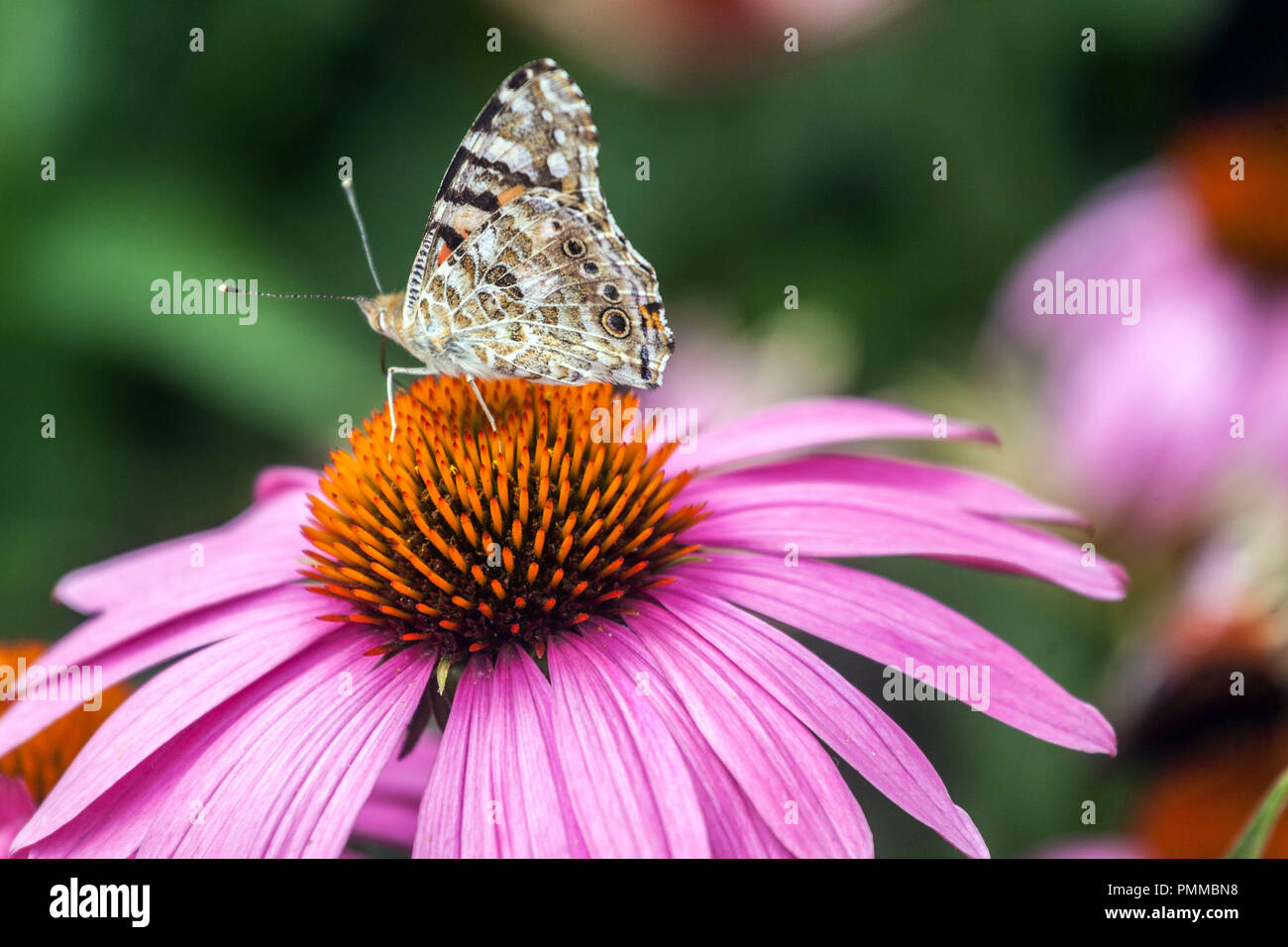 Butterfly Painted lady on purple coneflower, butterfly echinacea - Stock Image