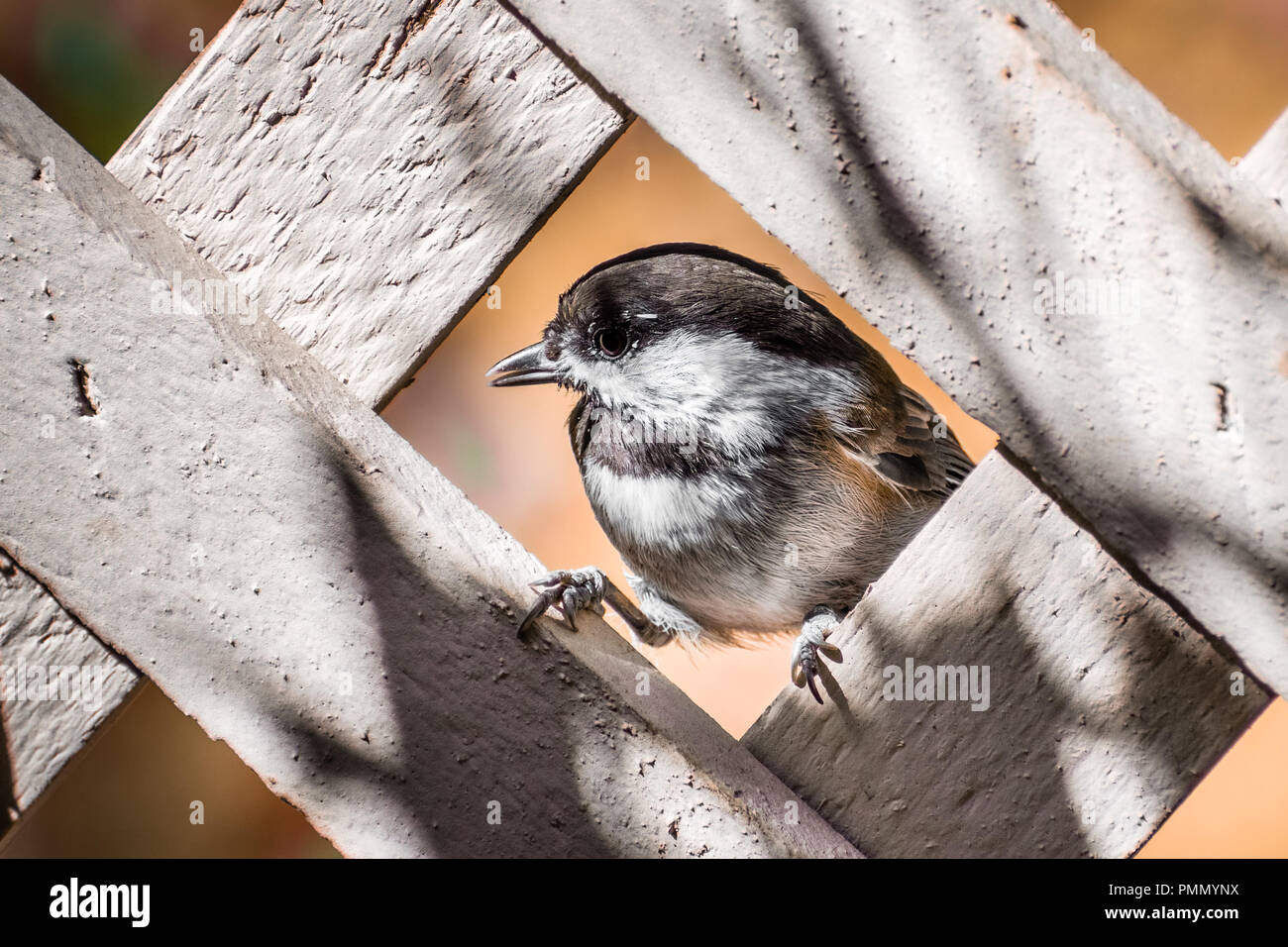 Close up of Chestnut backed Chickadee (Poecile rufescens) framed by the lattice of a wooden fence; San Francisco bay area, California - Stock Image