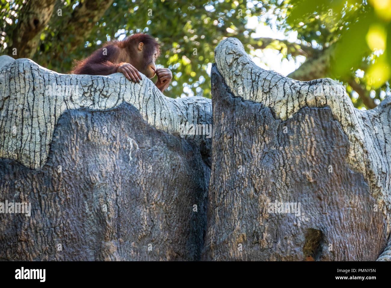 Young Bornean orangutan (Pongo pygmaeus) at Zoo Atlanta near downtown Atlanta, Georgia. (USA) - Stock Image