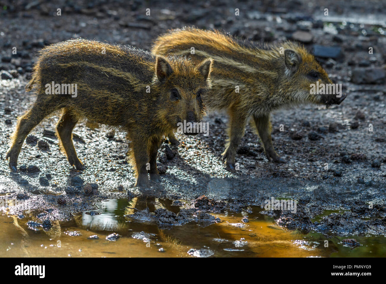Wild boar, Sus scrofa, two piglets, Hesse, Germany - Stock Image