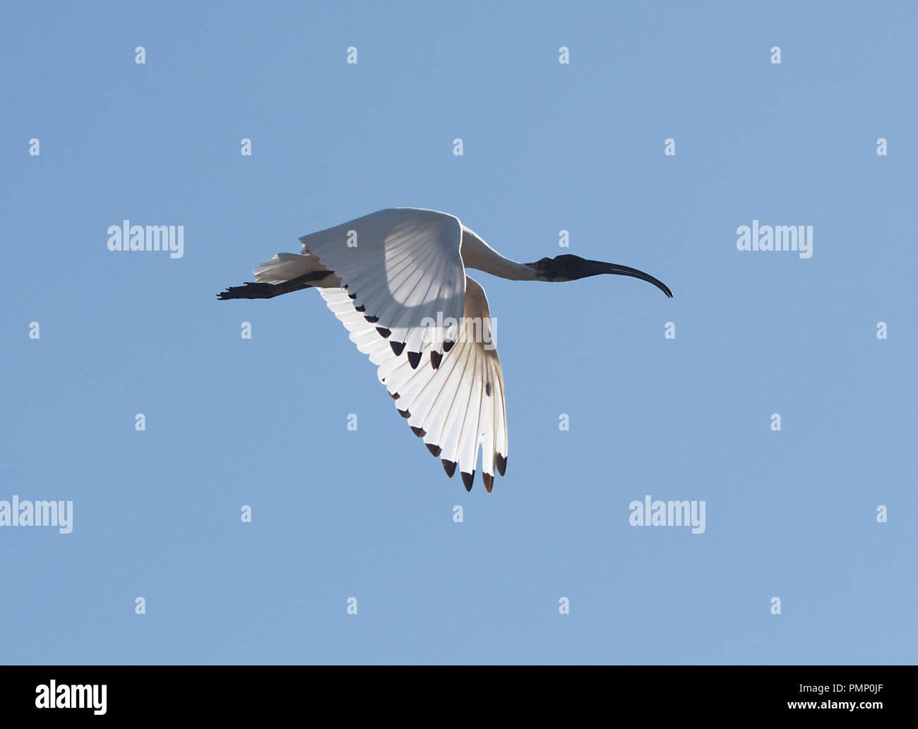 Australian White Ibis (Threskiornis molucca) in flight flapping wings, Emu Creek, near Petford, North Queensland, QLD, Australia - Stock Image