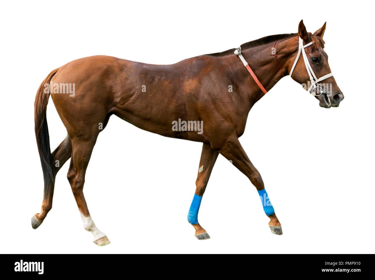 Thoroughbred English horse isolated on white background - Stock Image