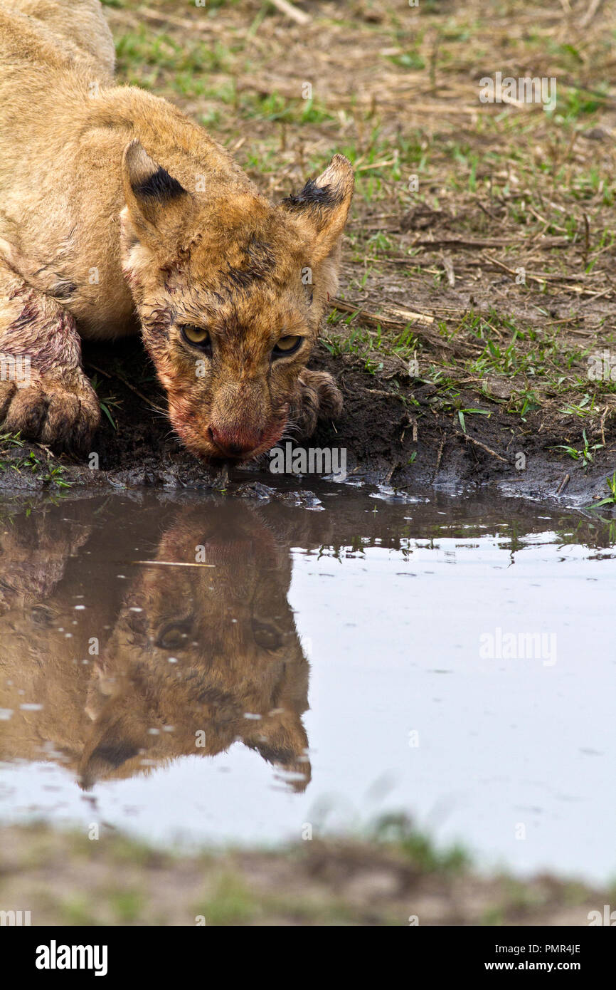 One of the cubs of the Katuma pride takes a break from feeding off a freshly killed juvenile hippo to take a thirst quenching drink. - Stock Image