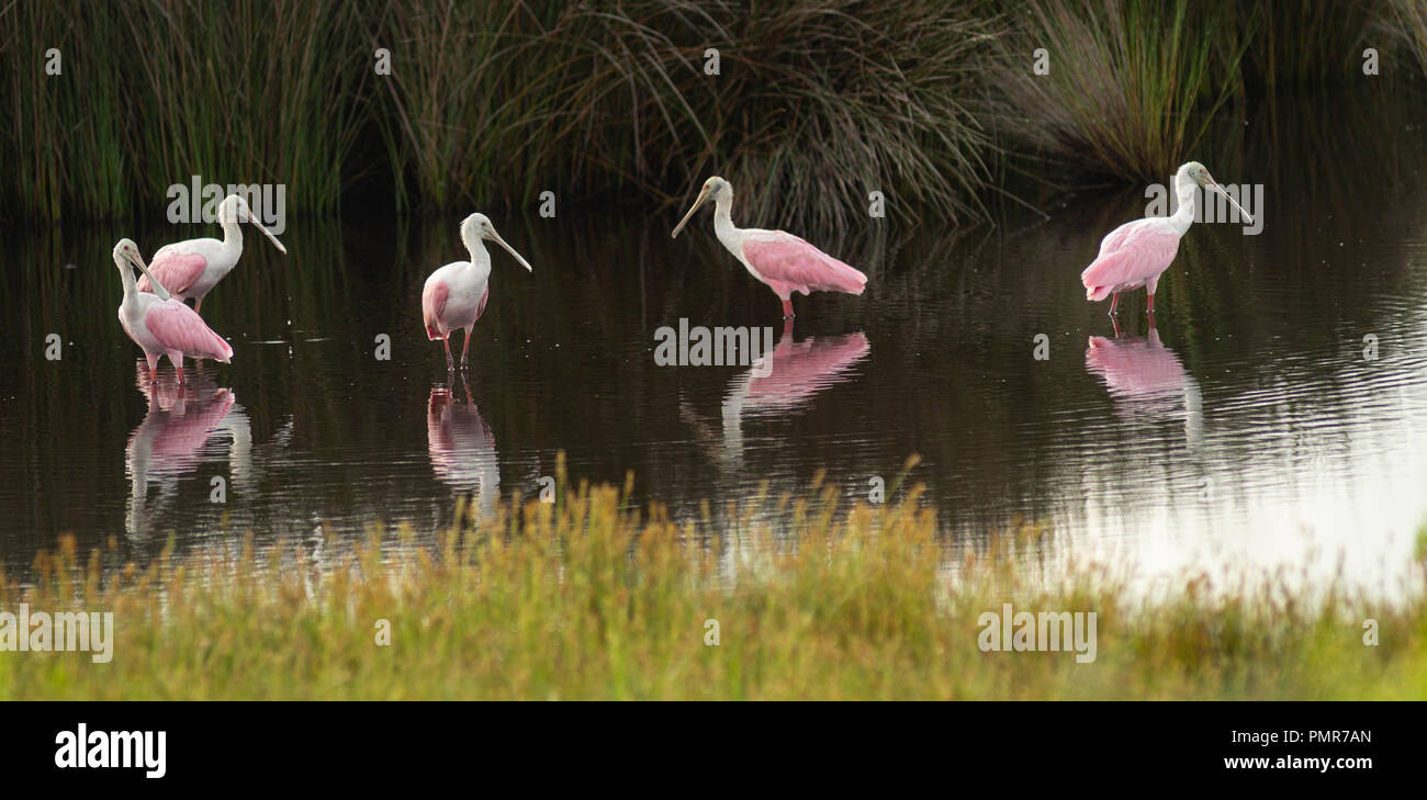The Roseate Spoonbill is an unusual and unique wading bird found in the southern United States Stock Photo