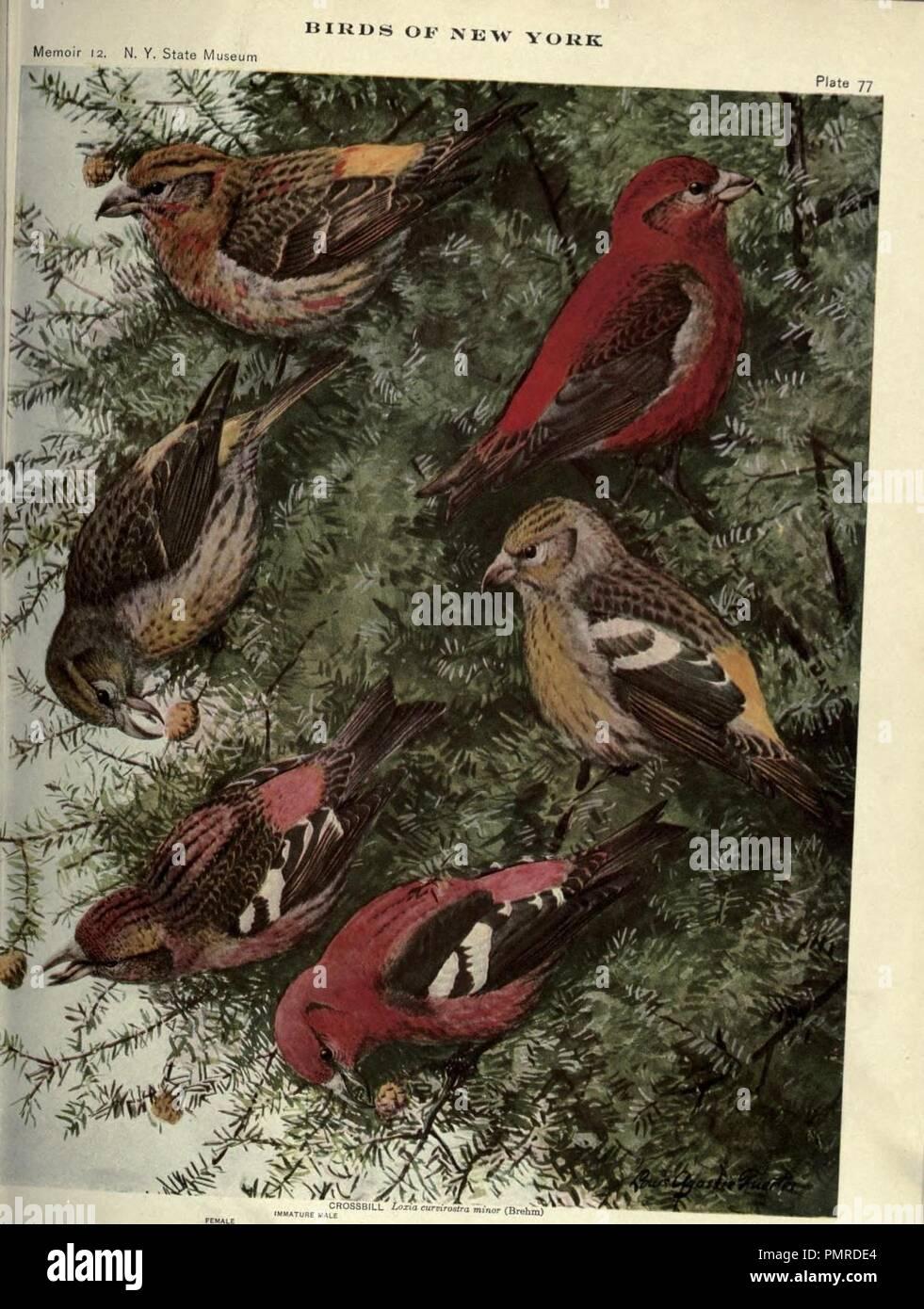 Birds of New York (Plate 77) - Stock Image