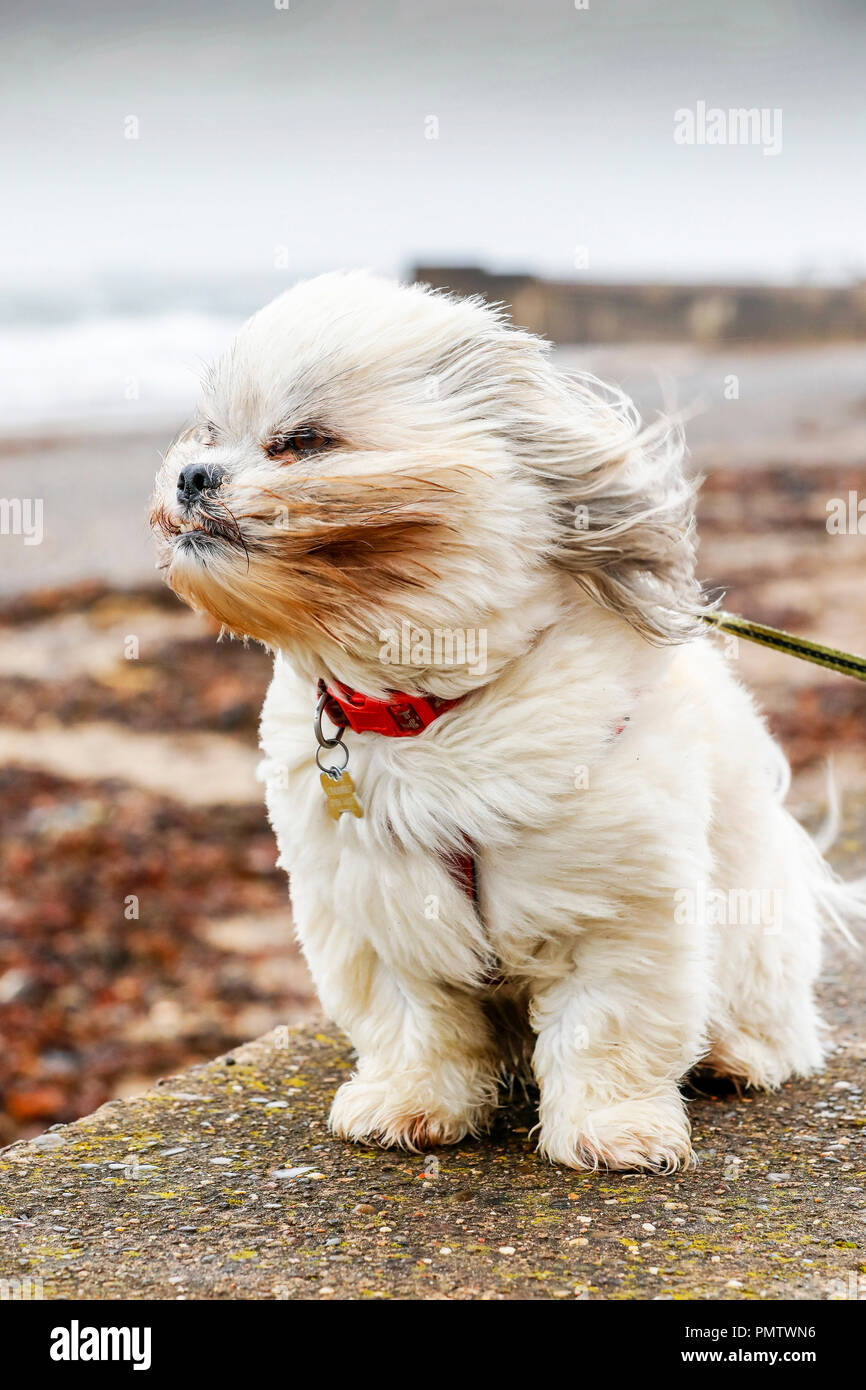 Prestwick, UK. 19th September 2018. The severe gales, high winds and rain doesn't seem to trouble BAILEY, a 4 year old Laso Apso from Prestwick, as he takes his morning stroll along the promenade. The storm, named Storm Ali is battering Northern Ireland the west coast of Scotland bringing high tides, heavy rain and widespread structural damage. Credit: Findlay/Alamy Live News - Stock Image