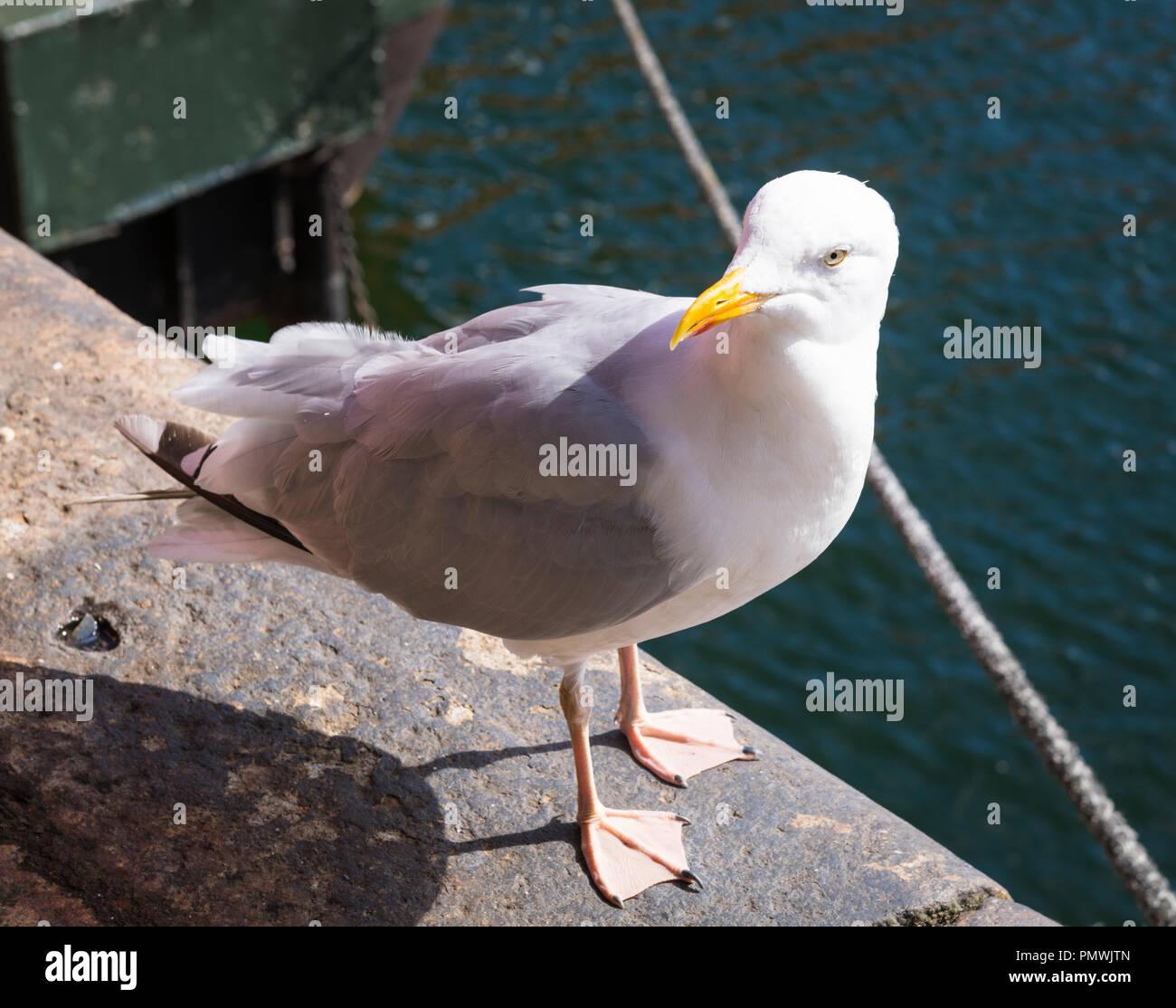 Liverpool Merseyside Albert Dock European Herring Gull Seagull Larus Argentus basking in sun on dockside water - Stock Image
