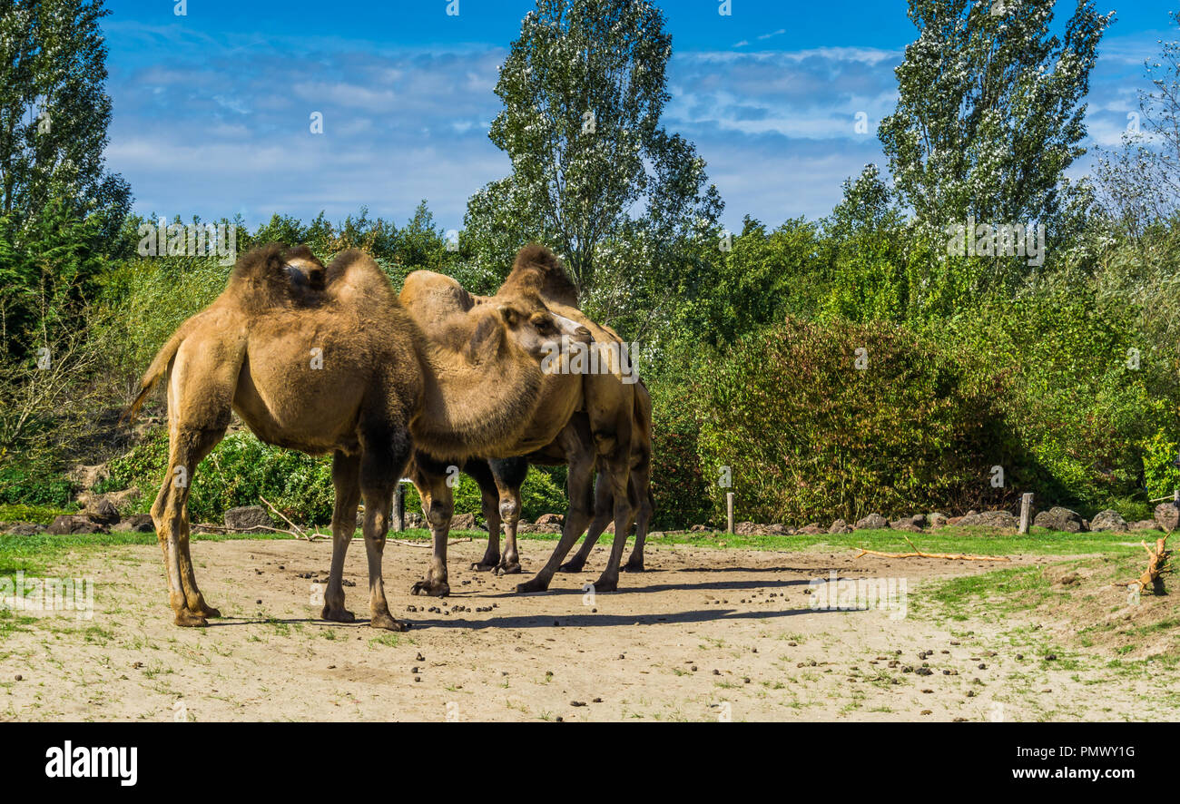 group of double bumped camels standing together in a nature landscape Stock Photo
