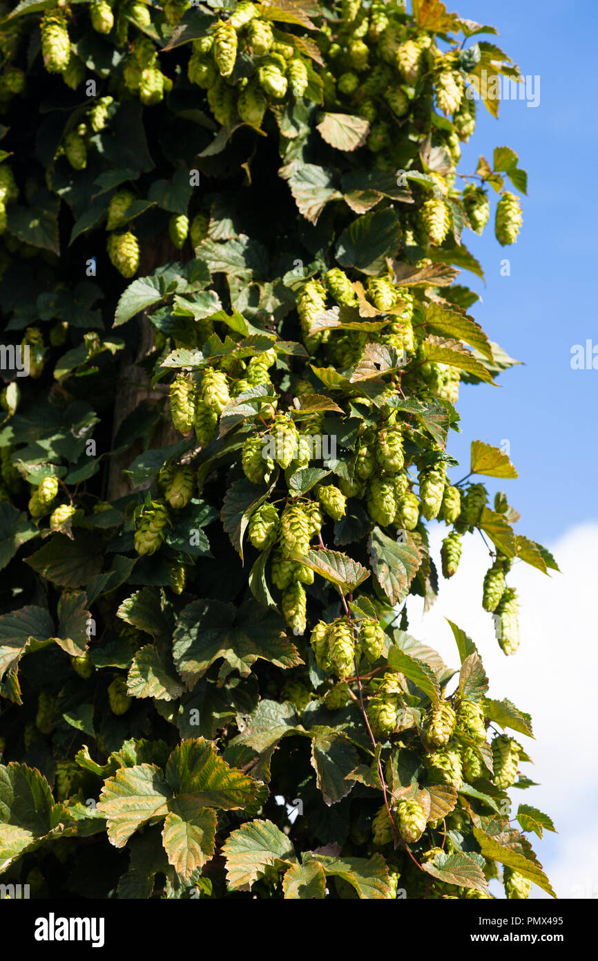 Hop plant (Humulus lupulus), Kent, UK, autumn.  Dried hop flowers provide bittering, flavouring and stability in beer, also used in herbal medicine. - Stock Image