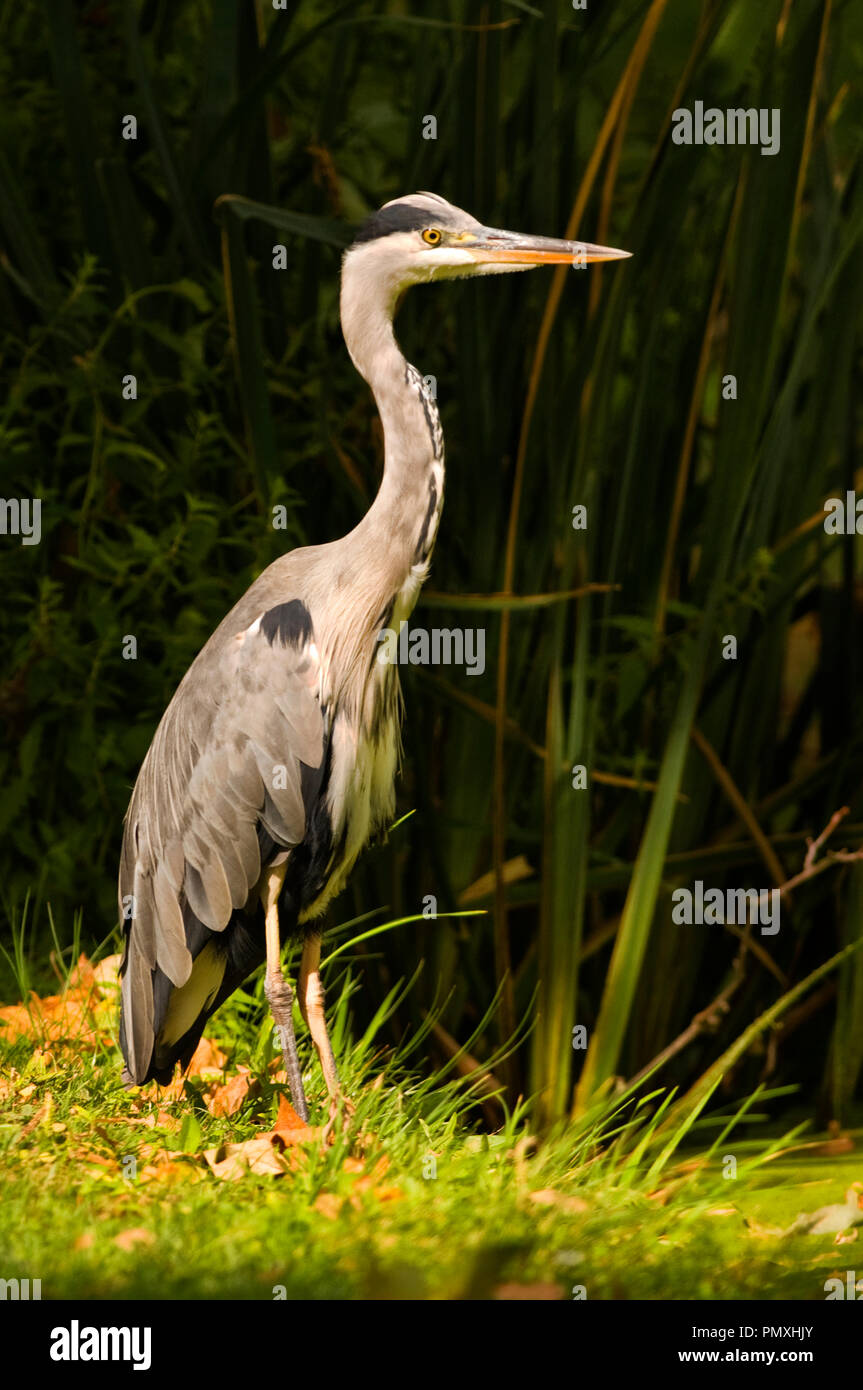 Grey Heron, Ardea cinerea Stock Photo