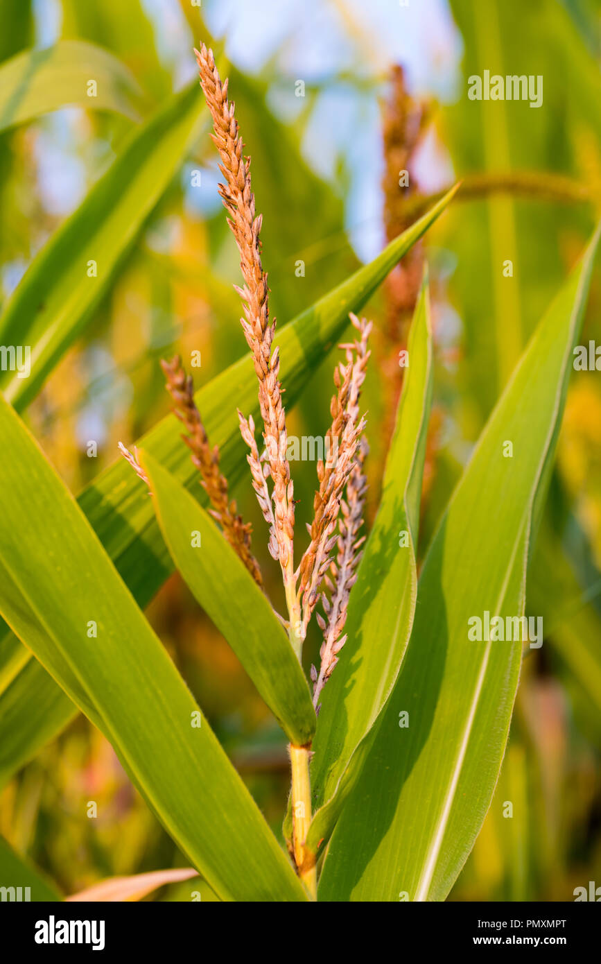 Close up of corn ears at corn plants in late summer in a corn field. - Stock Image
