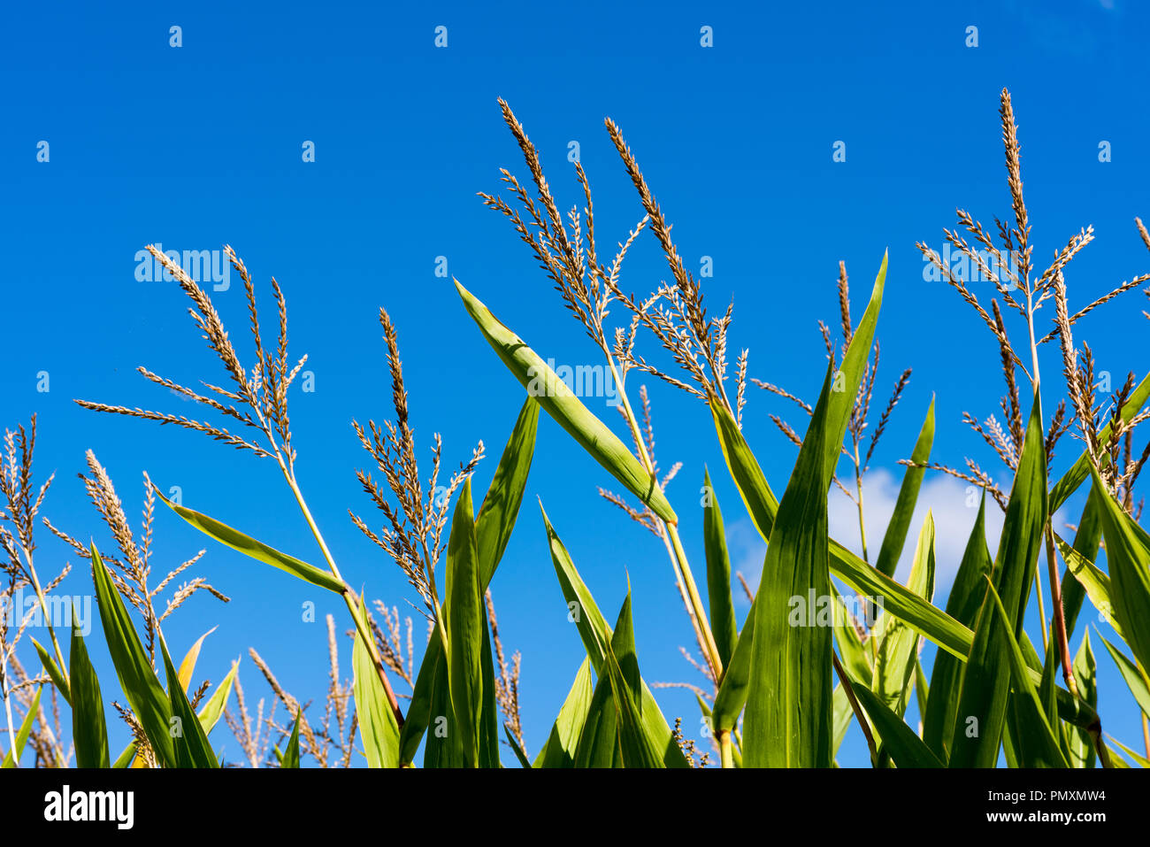 Close up of corn ears at corn plants in late summer in front of bright blue sky. - Stock Image