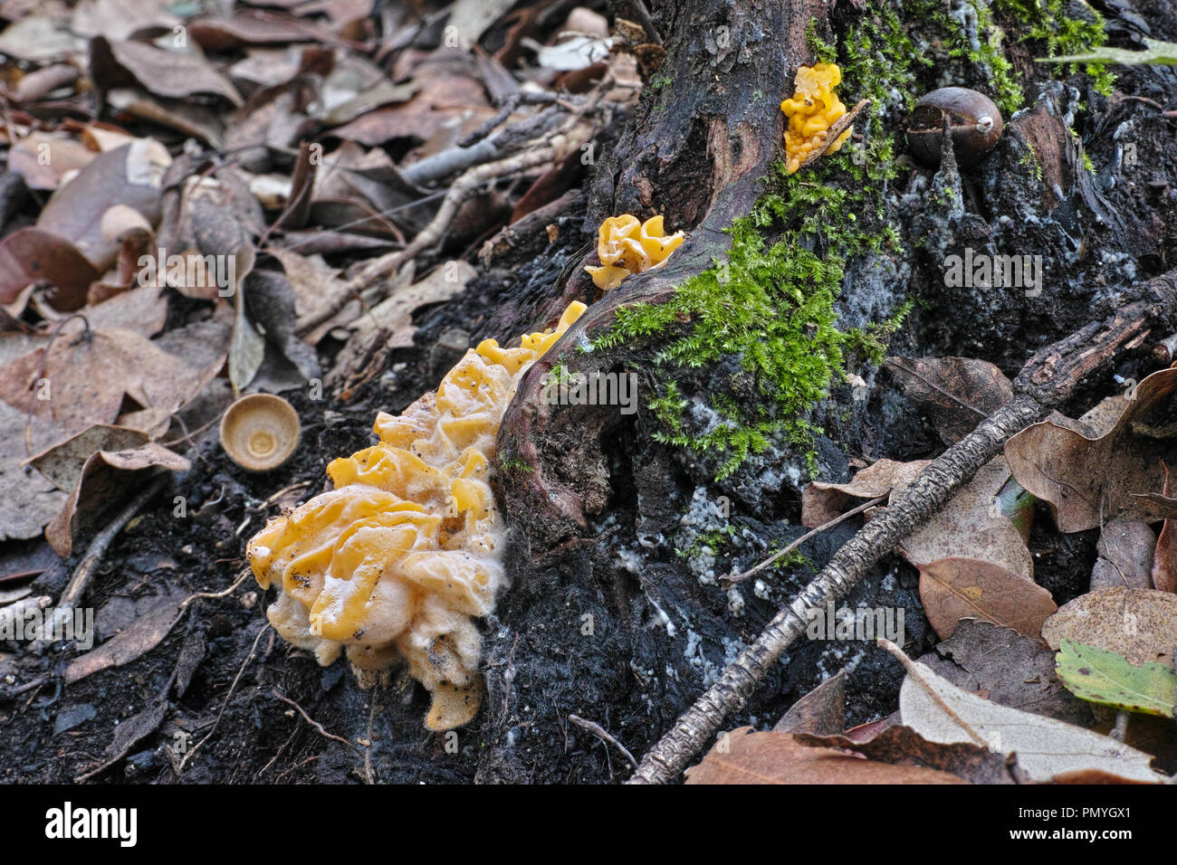 yellow brain fungus, trermella aurantia - Stock Image