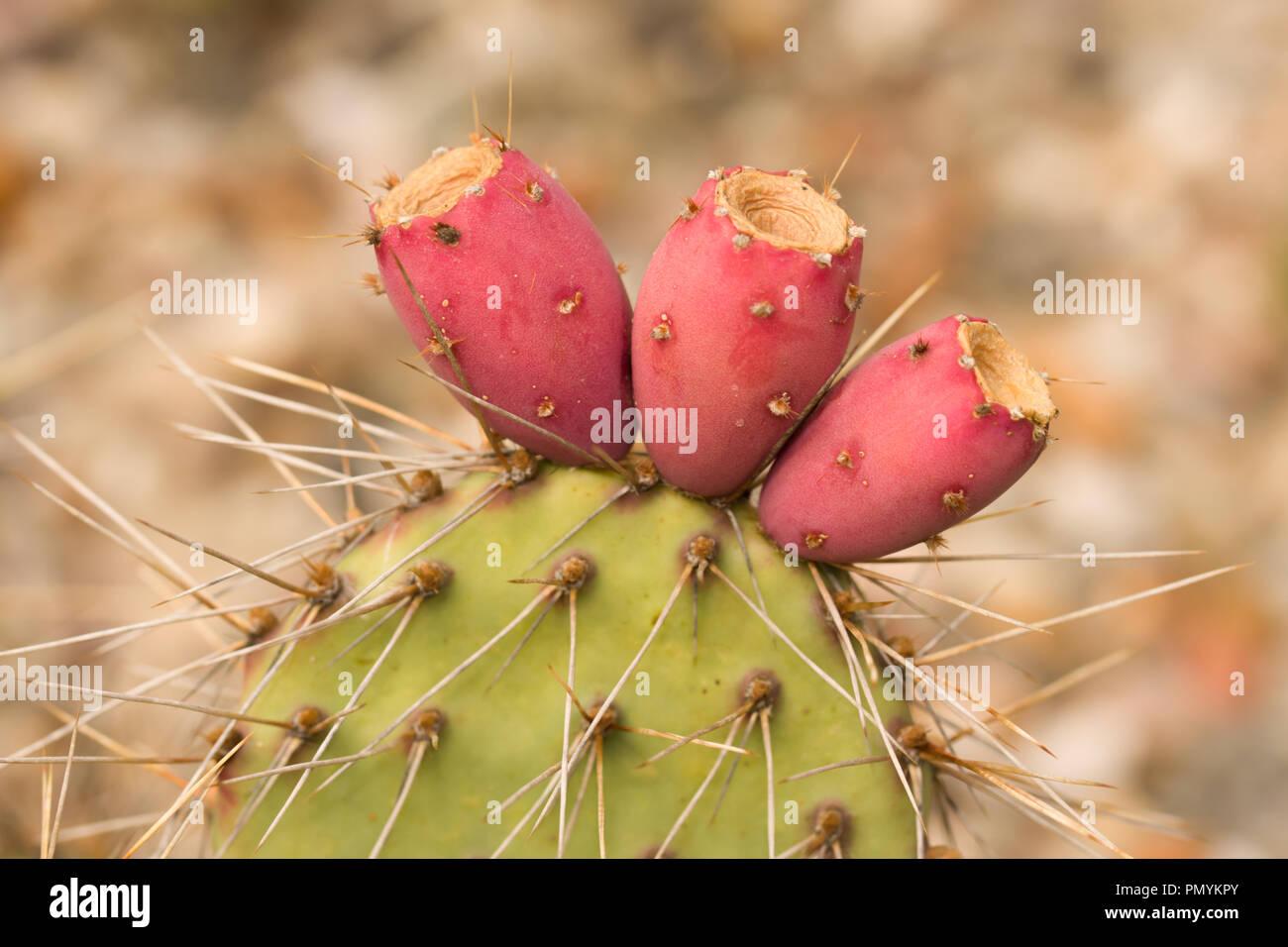 Close Up On The Fruits Of Opuntia Polyacantha Var Polyacantha
