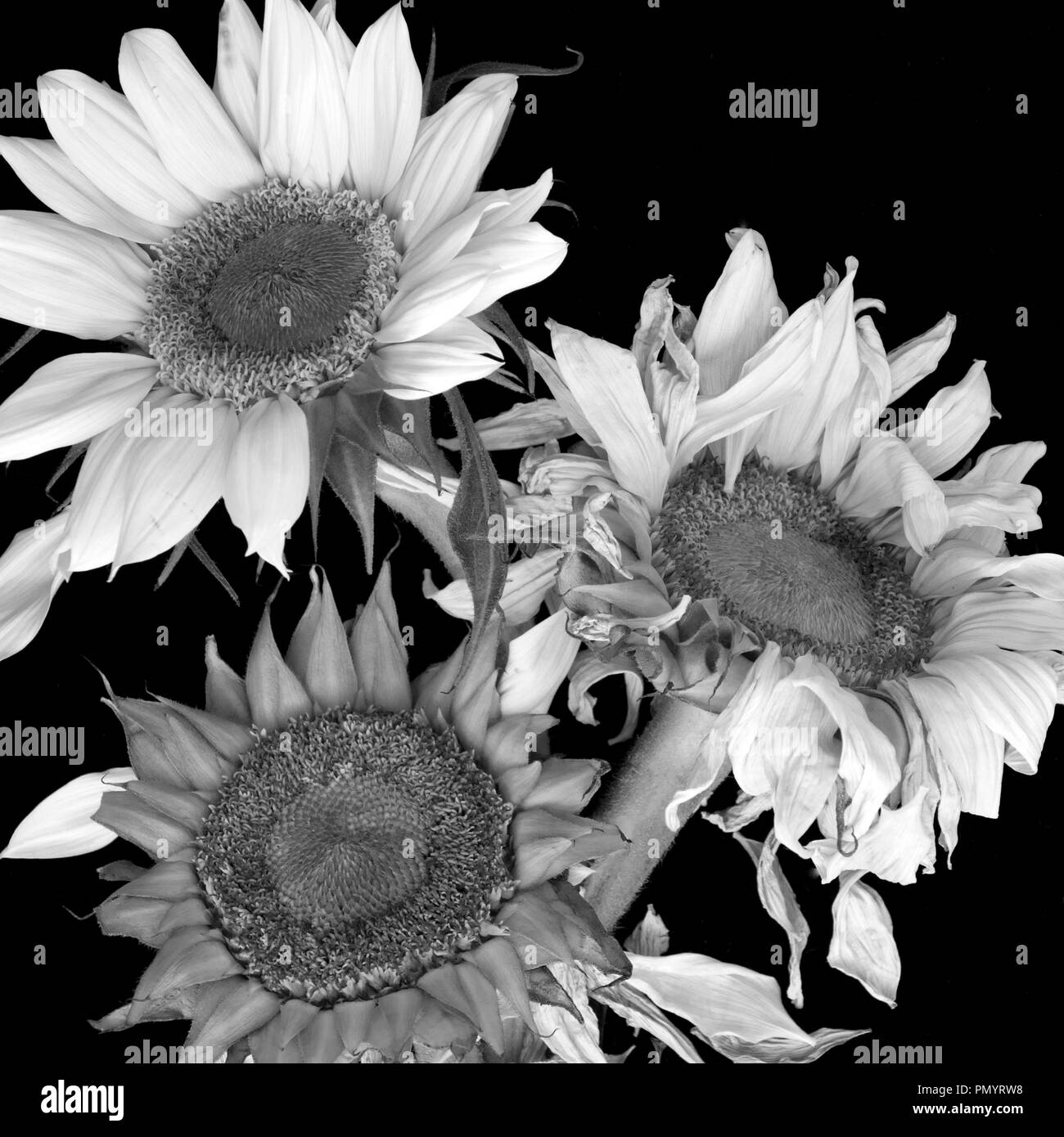 3 Black And White Sunflowers At Different Stages Of Life Stock Photo