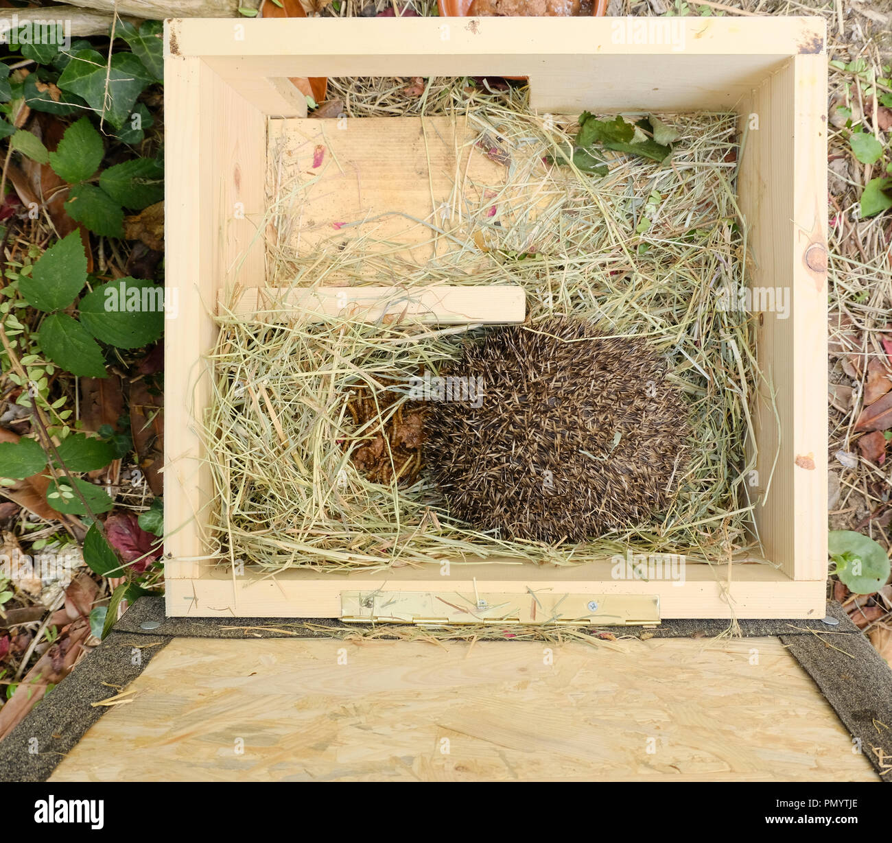 Small European Hedgehog rolled up inside custom made wooden Hedgehog House. Dried Mealworms and cat food have been left in for him. - Stock Image