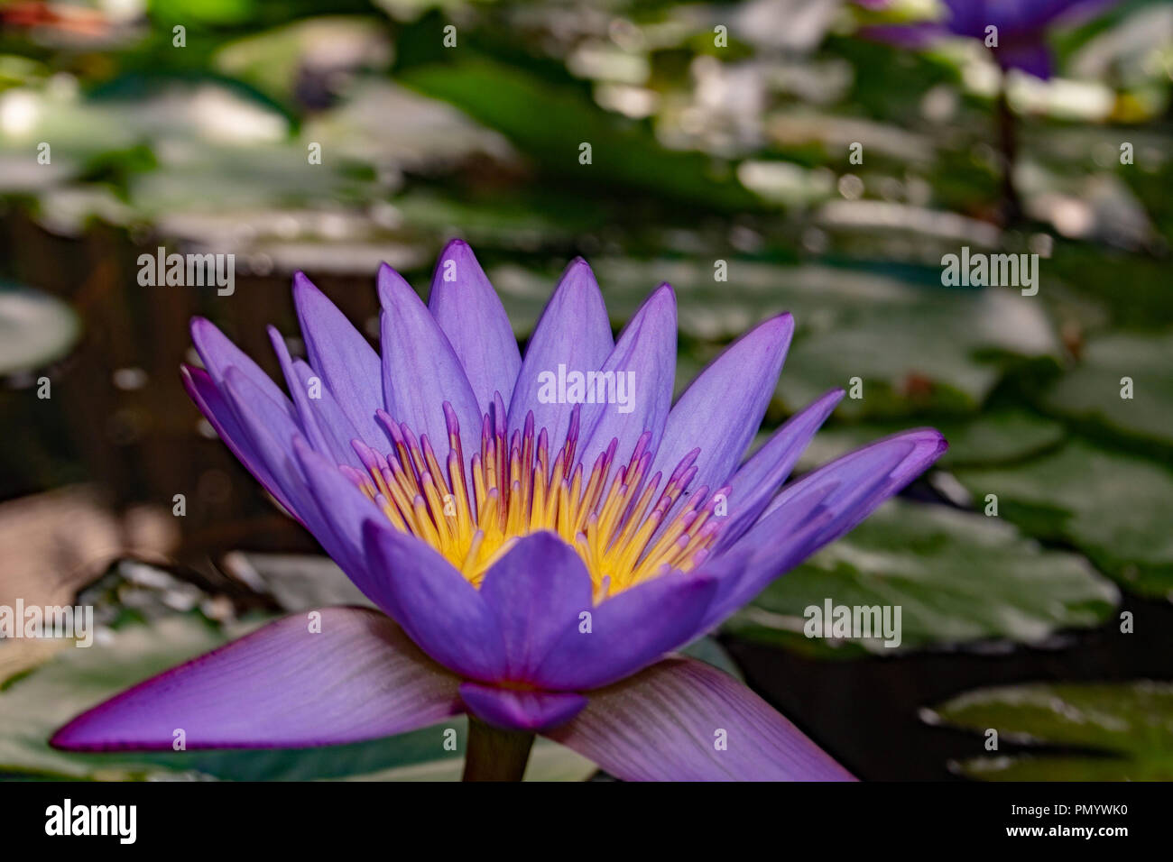 Purple Lily Flower In French Polynesia Stock Photo 219430372 Alamy