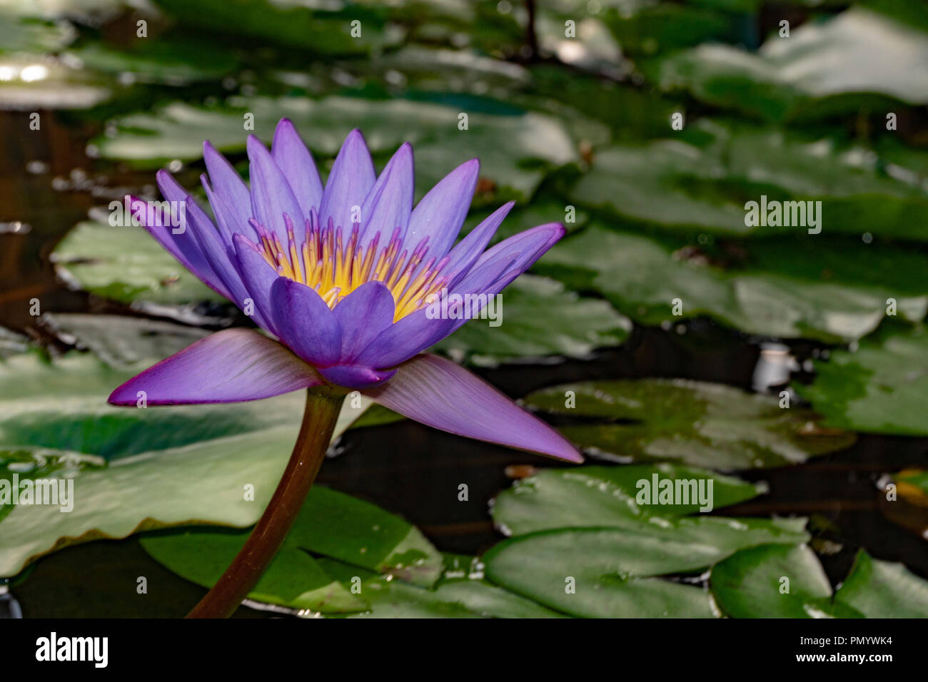 Purple Lily Flower In French Polynesia Stock Photo 219430376 Alamy