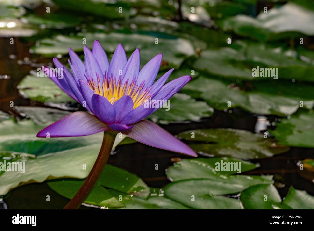 Purple lily flower in french polynesia stock photo 219430376 alamy purple lily flower in french polynesia izmirmasajfo